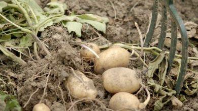 quand et comment récolter les pommes de terre