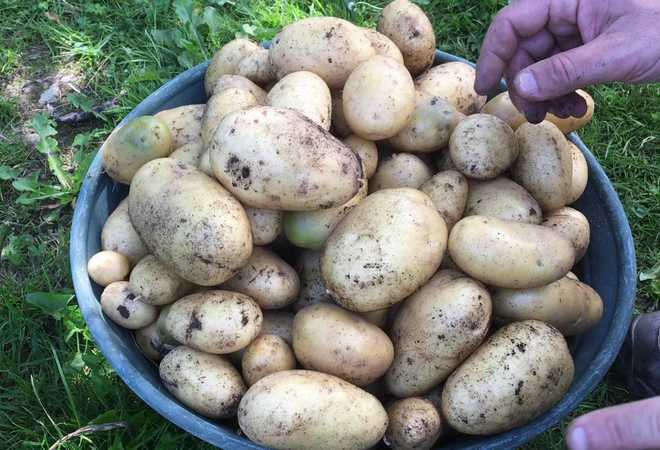 quand recolter les pommes de terre