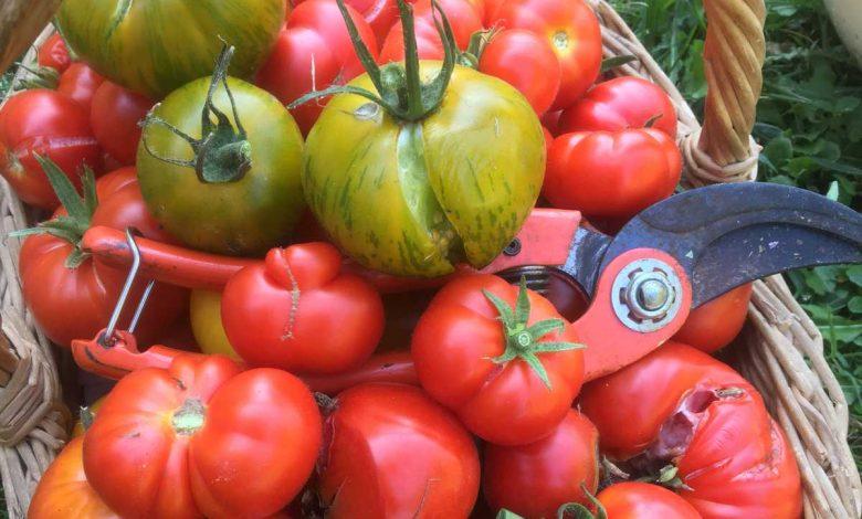 quand récolter les tomates