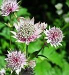 Astrantia gracilis jardin express
