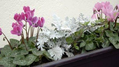 Photo de Une jardinière pour l'automne et l'hiver autour de cyclamens