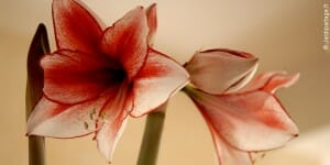 planter un amaryllis
