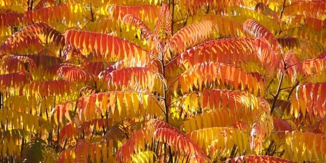 Sumac de Virginie automne