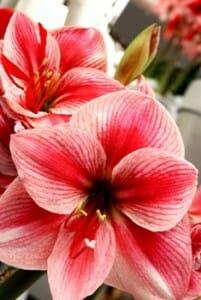 Floraison amaryllis