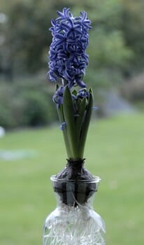 bulbe jacinthe fleurs
