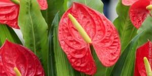 Plante anthurium