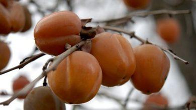 plaqueminier arbre du kaki