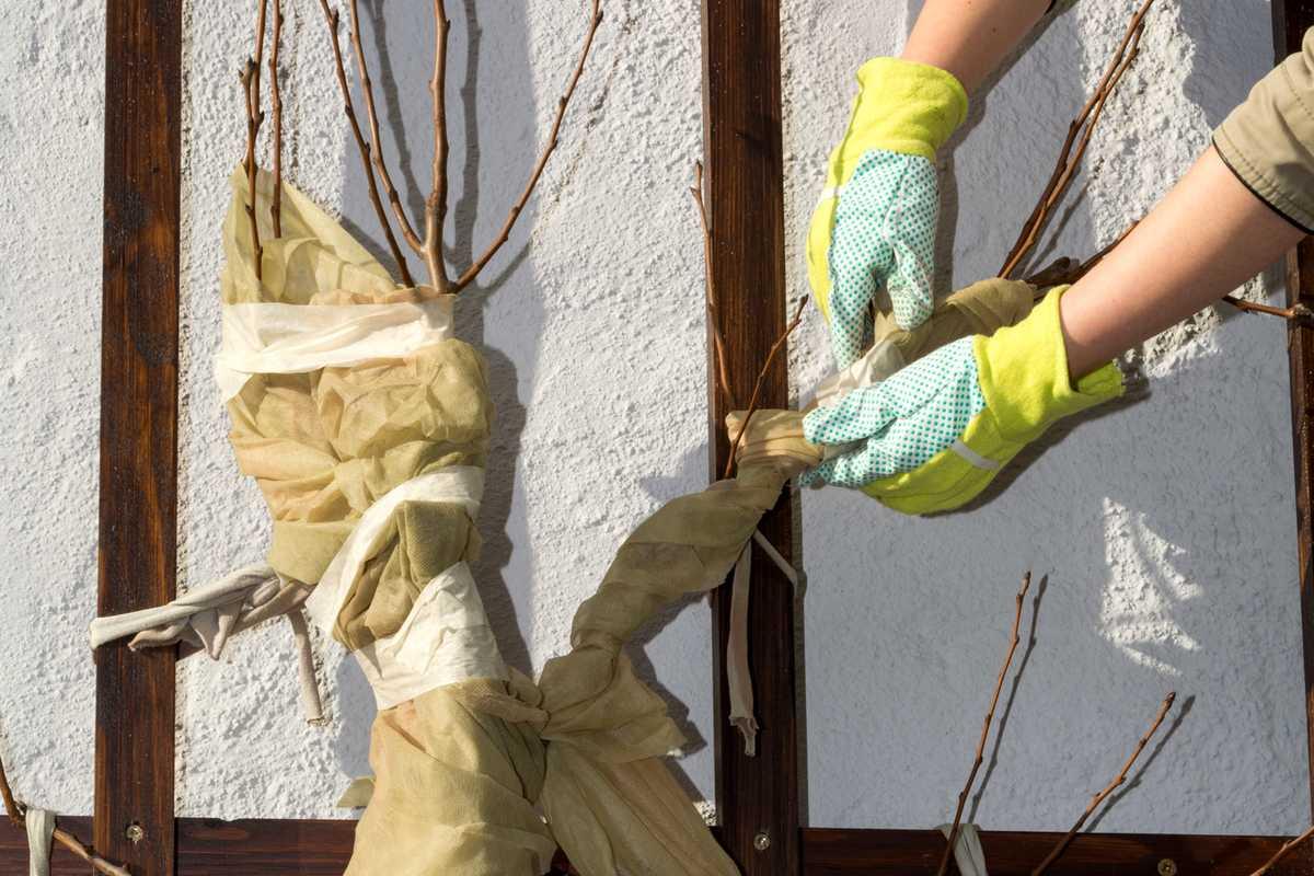 Comment protéger les arbres fruitiers du gel au printemps