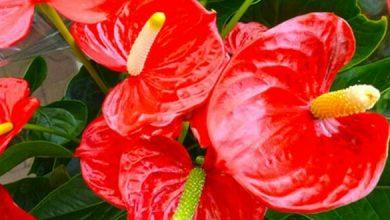 Photo de L'Anthurium, une belle tropicale pour intérieur coloré
