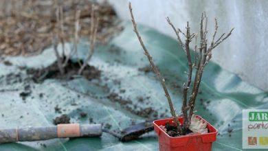 Photo de 5 conseils pour réussir la plantation du cassissier