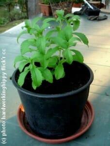 stevia rebaudiana en pot