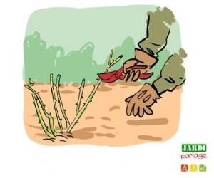soigner ses rosiers