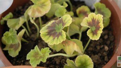 Geranium arbustif lilas clair