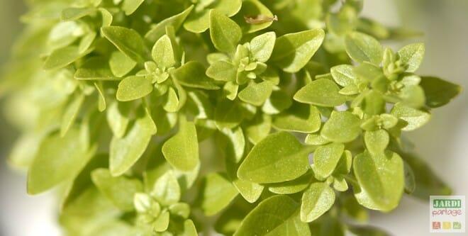 Cultiver du basilic en pot