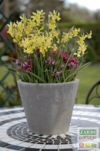 Potée fleurie narcisses et tulipes