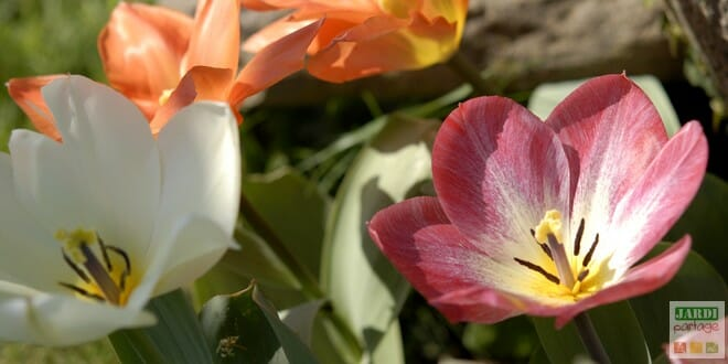 Tulipes horticoles colorées