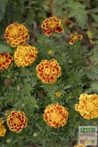 oeillet d'inde fleurs utiles
