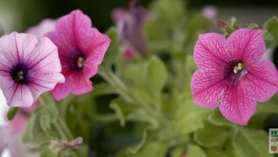 petunia surfinia rose