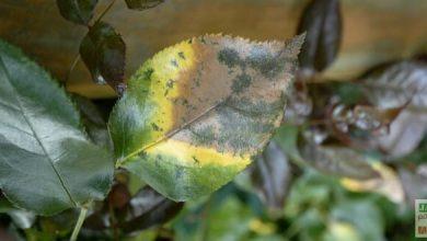 Photo de 5 maladies des rosiers…et leurs solutions décryptées
