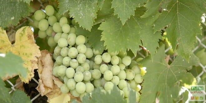 Comment tailler la vigne