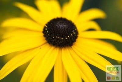 Rudbeckia jaune
