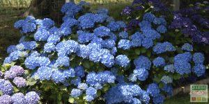 hortensia bleu entretien