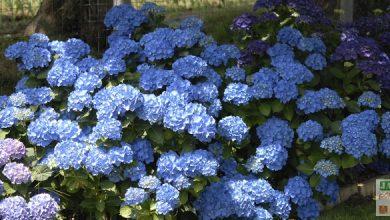 Photo of L'entretien et la couleur bleue des hortensias