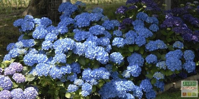Photo de L'entretien et la couleur bleue des hortensias