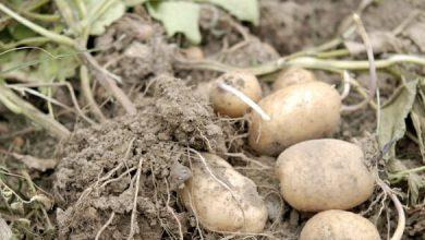 Photo de Culture des pommes de terre sans travail du sol : résultats