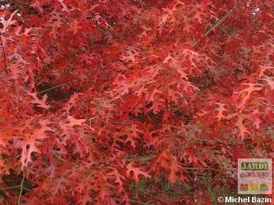 arbre feuille rouge automne