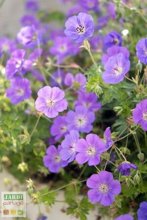 géranium vivace bleu