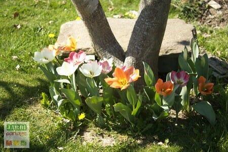 tulipes au pied d'un arbre
