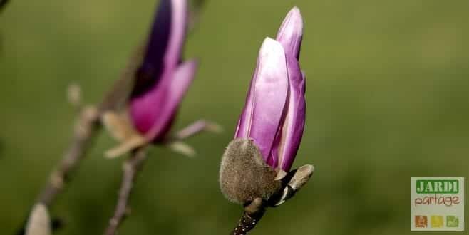 éclosion fleur de magnolia