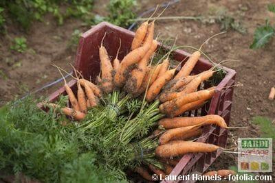 Cagette de carottes AMAP