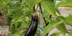 Culture de l'aubergine Mistral