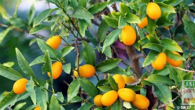 Photo de Le kumquat, aussi exotique que rustique !