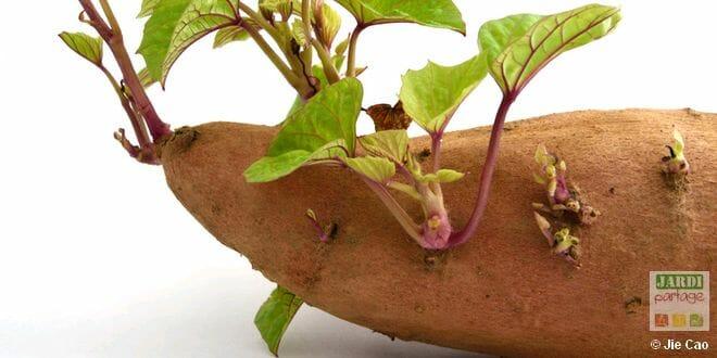Culture de la patate douce