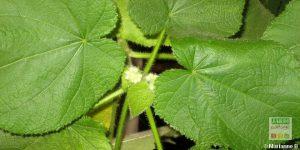 Sparmannia africana ne fleurit pas
