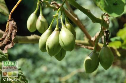 Fruit poire melon