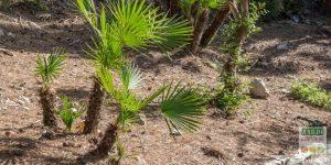 quel palmier planter en France