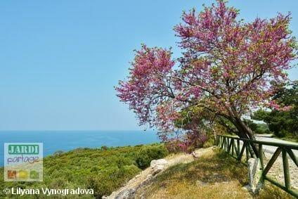 floraison arbre de judee