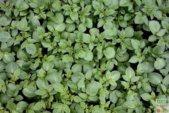 culture pommes de terre rendement