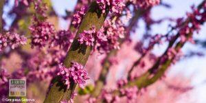 Fleur arbre de judee