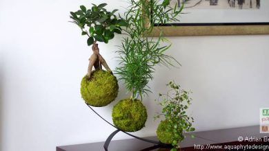 Photo of Comment entretenir un kokedama ?