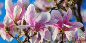 Magnolia soulangeana fleurit pas