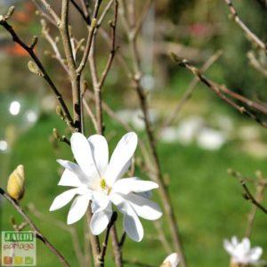magnolia stellata qui ne fleurit pas
