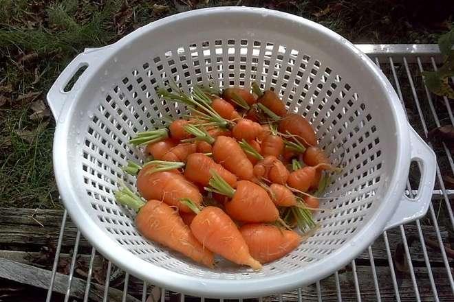 quand recolter les carottes hiver