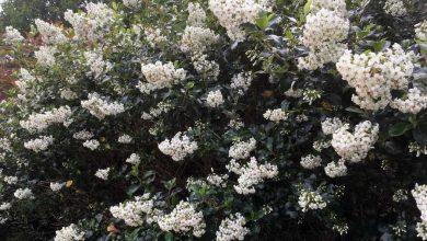 Fleurs de l'Escallonia blanc