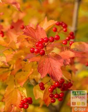 Viorne obier automne