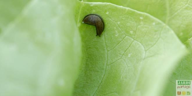 comment lutter contre les limaces